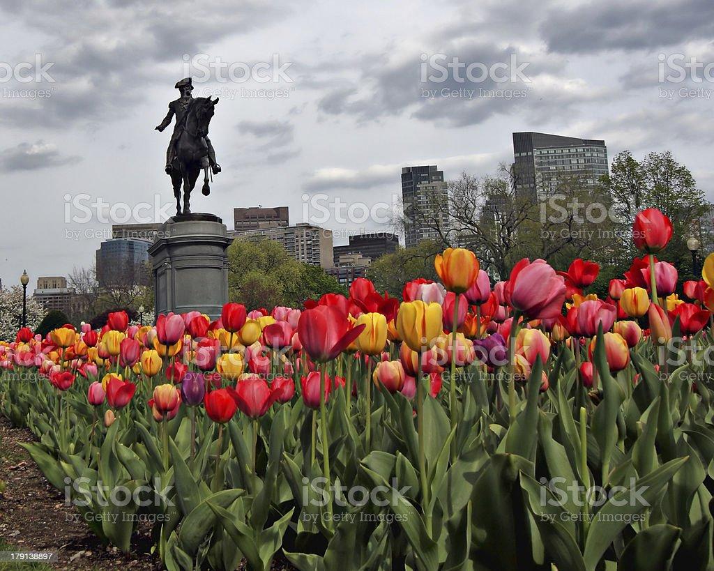 Spring Tulips in the Boston Public Garden stock photo