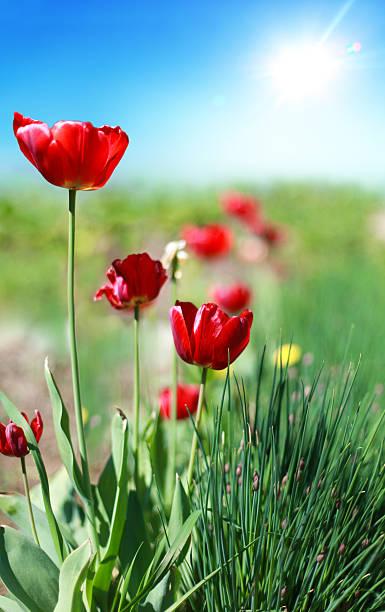 Frühling Tulpen im Garten – Foto