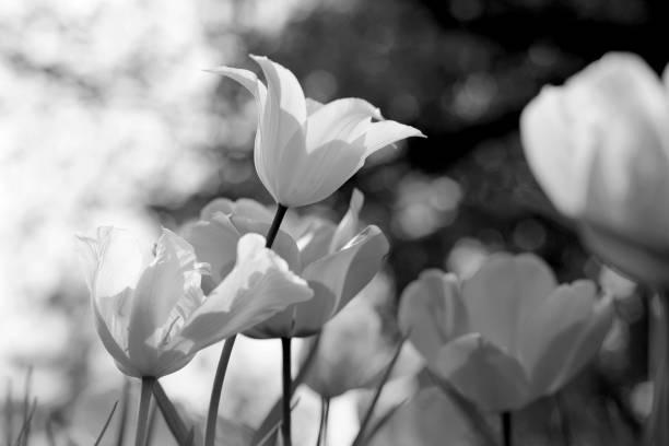 Tulipanes de primavera en el parque, blanco y negro - foto de stock