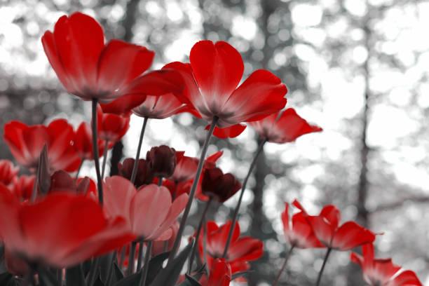 Tulipanes de primavera en el parque, rojo, negro, blanco, fondo de flores, flamenco - foto de stock