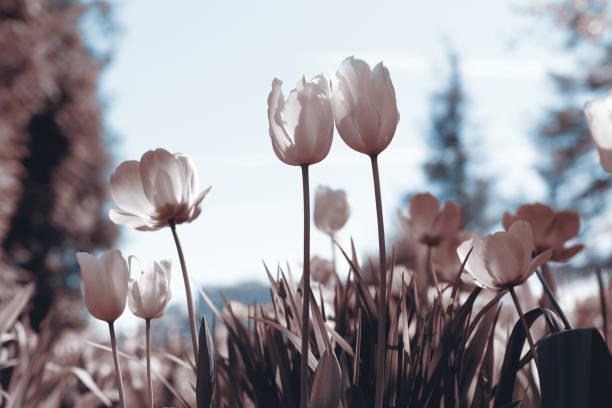 Tulipanes de primavera en el parque, sepia rosa - foto de stock