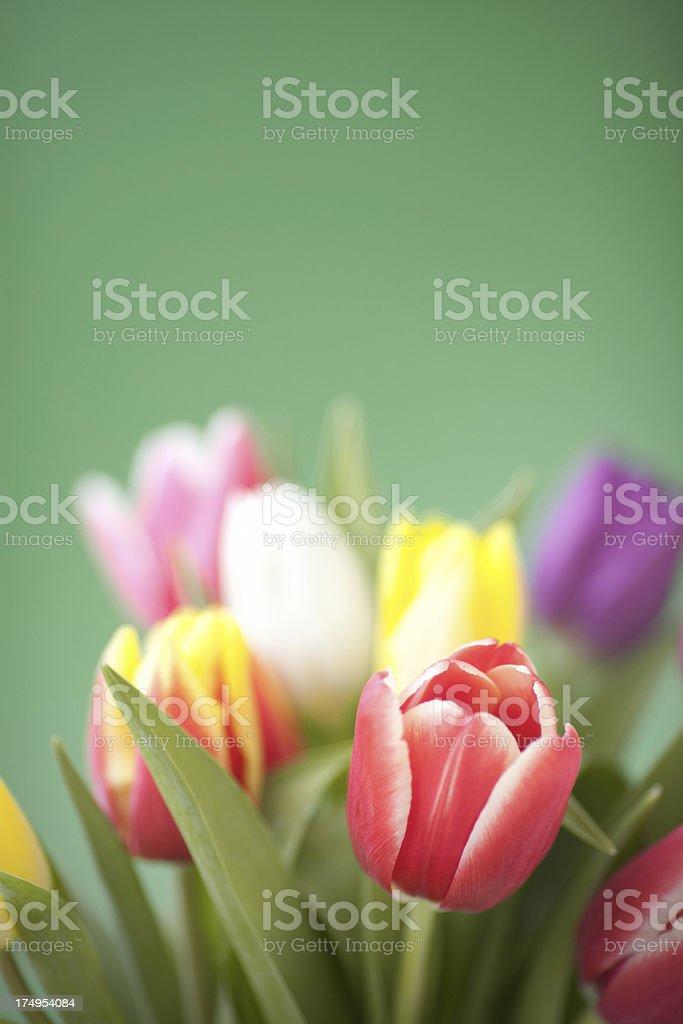 Spring tulips. royalty-free stock photo