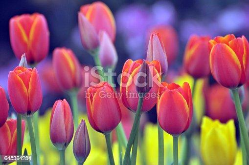 Blossom spring tulips