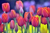 春のチューリップ