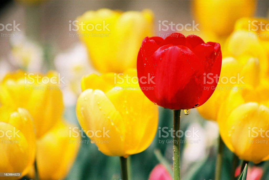Spring tulips with rain drops royalty-free stock photo
