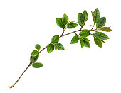 istock Spring twig with green leaves 1218004030