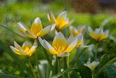 Beautiful spring tulip flowers in the garden