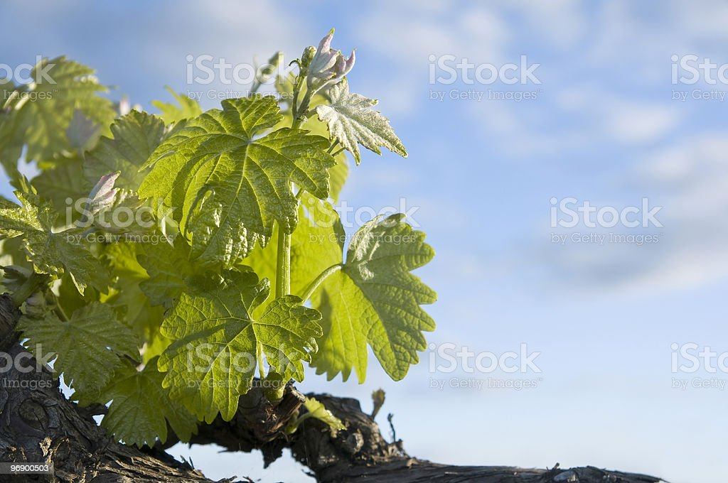 Spring vines with a blue sky royalty-free stock photo