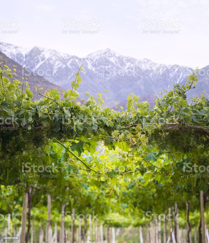 Spring Vineyard, Atacama Desert in the Coquimbo region, Chile stock photo