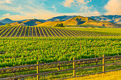 Spring crop; wine country; rolling hills; rows of crops; lush vegetation; Travel destination; rolling vineyard; agricultural field