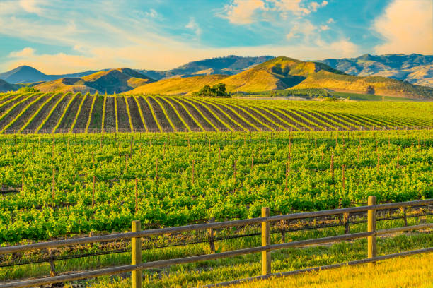 Spring vineyard in the Santa Ynez Valley Santa Barbara, CA Spring crop; wine country; rolling hills; rows of crops; lush vegetation; Travel destination; rolling vineyard; agricultural field santa barbara california stock pictures, royalty-free photos & images