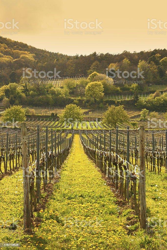 Spring Vineyard stock photo