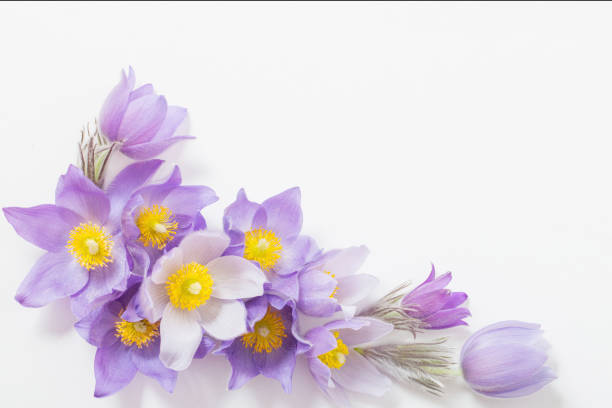 Spring violet flowers on  white background stock photo