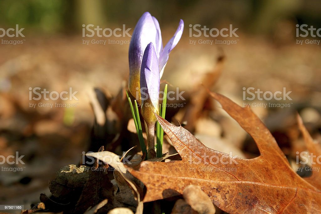 Spring vs autumn, blooming crocus and leaves royalty-free stock photo