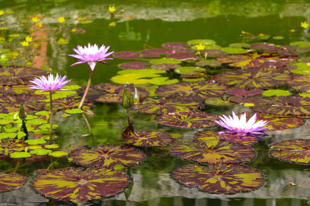 Spring Water Lilies stock photo
