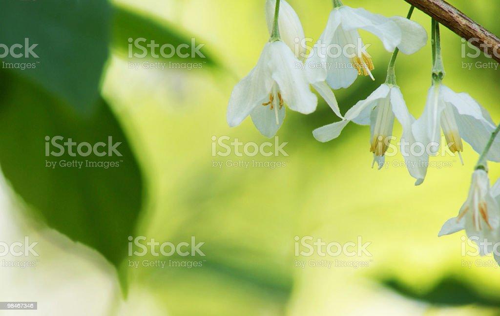 Primavera fiori bianchi foto stock royalty-free