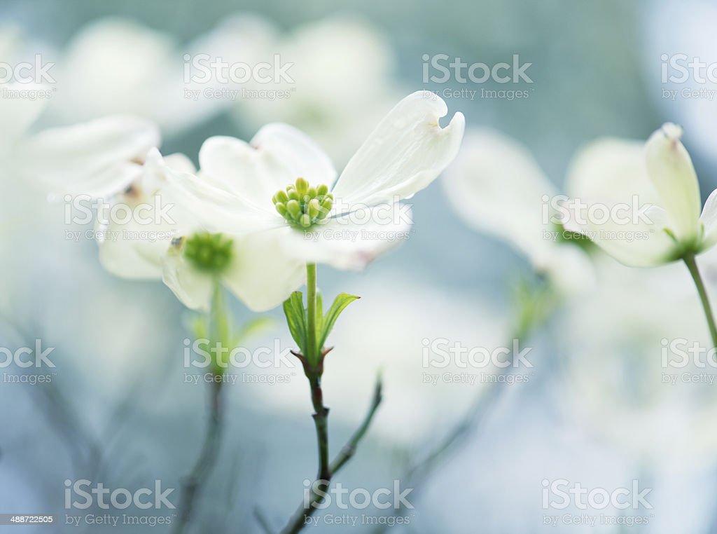 Spring white dogwood flowers stock photo