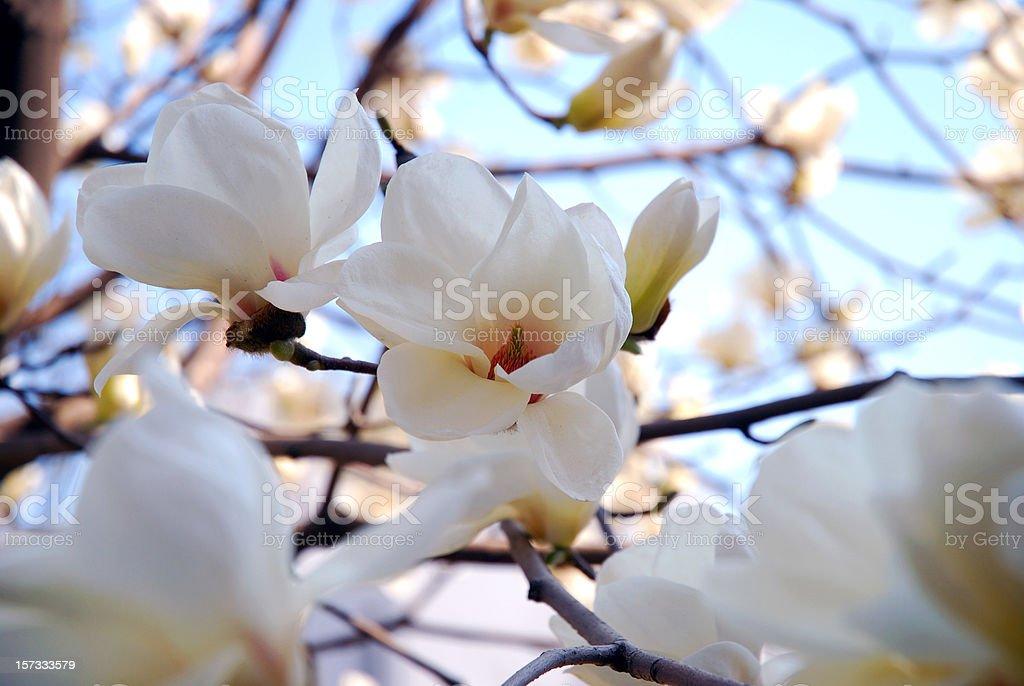 Spring White Magnolia in Tsinghua University stock photo