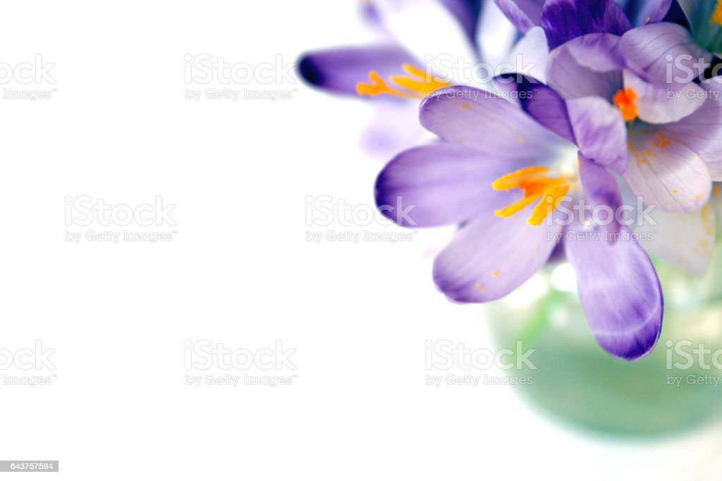Spring whitewell purple crocus bouquet stock photo