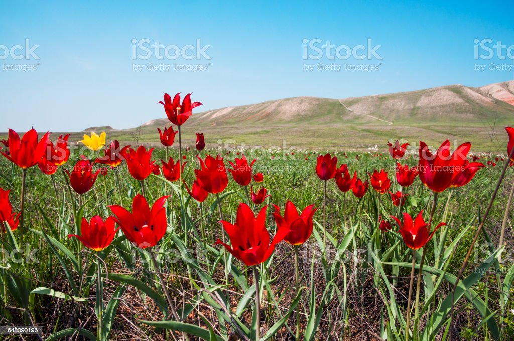 Spring, wild tulips in the steppe, in the vicinity of Mount Bogdo ( Astrakhan , Russia ) stock photo