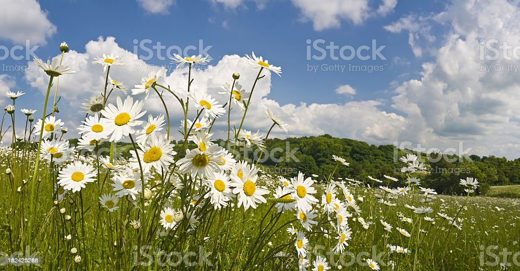 Spring wildflower meadow lush green landscape white oxeye daisy panorama royalty-free stock photo