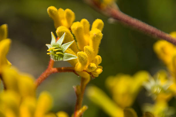spring wildflower - kangaroo paw stock photos and pictures