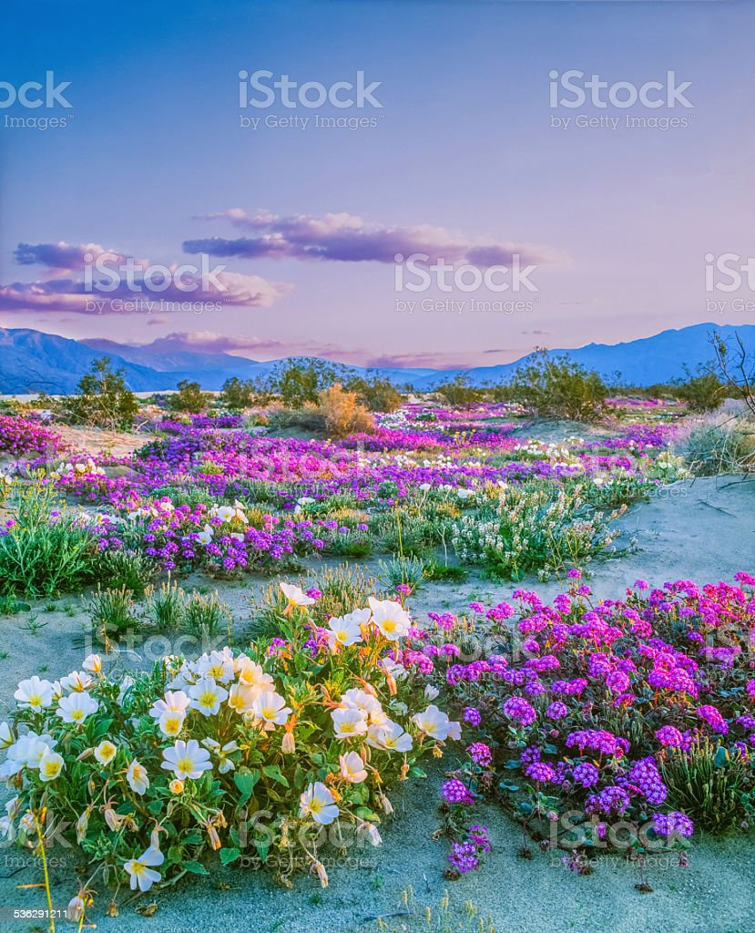 Spring wildflowers Anza Borrego Desert State Park, California stock photo