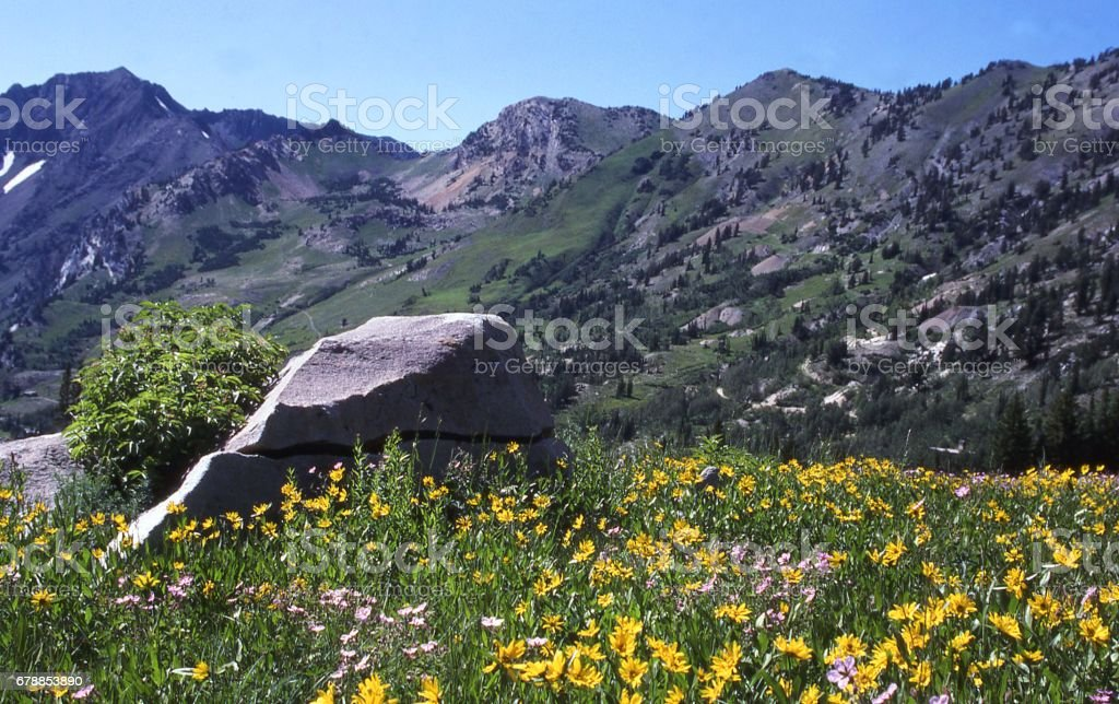 Spring wildflowers in Albion Basin near Alta Ski Resort Big Cottonwood Canyon Wasatch Mountains near Salt Lake City Utah stock photo