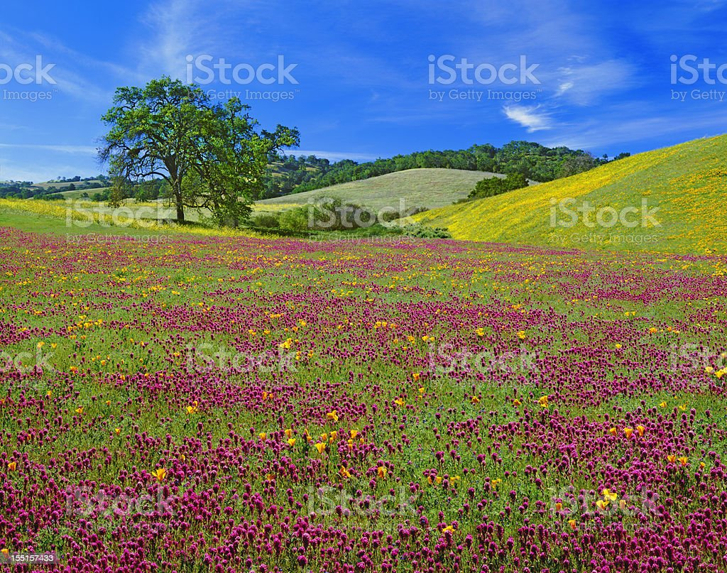 Spring Wildflowers In California royalty-free stock photo