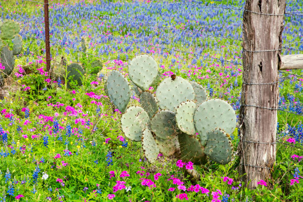 Spring Wildflowers in Texas Hill Country stock photo