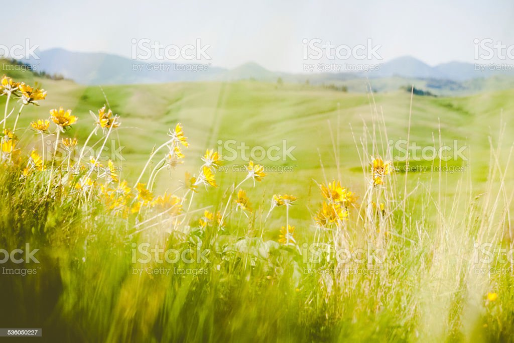 Spring wildflowers of balsmroot growing on a Montana hillside stock photo