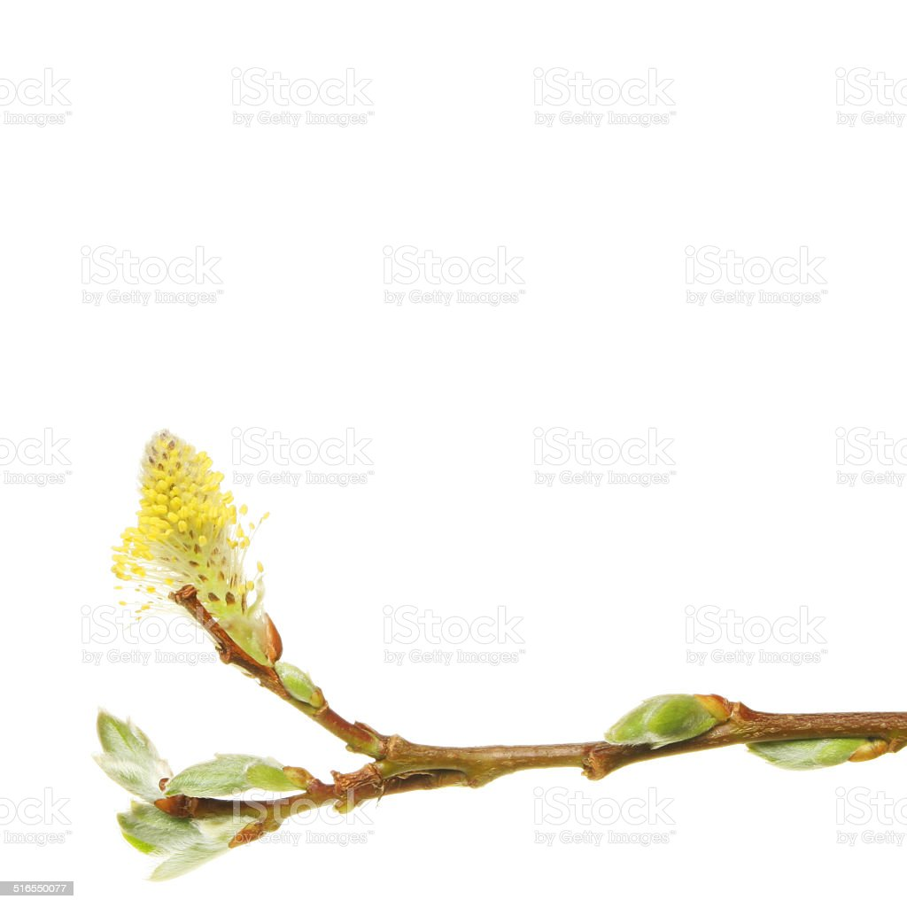 Spring Willow stock photo