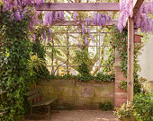 Wisteria flower blooming park