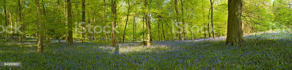 Spring woodland glade royalty-free stock photo