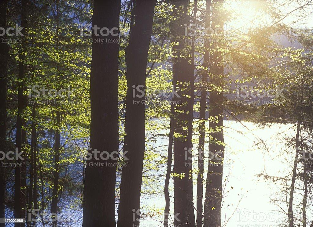 Spring woods at sunrise. royalty-free stock photo