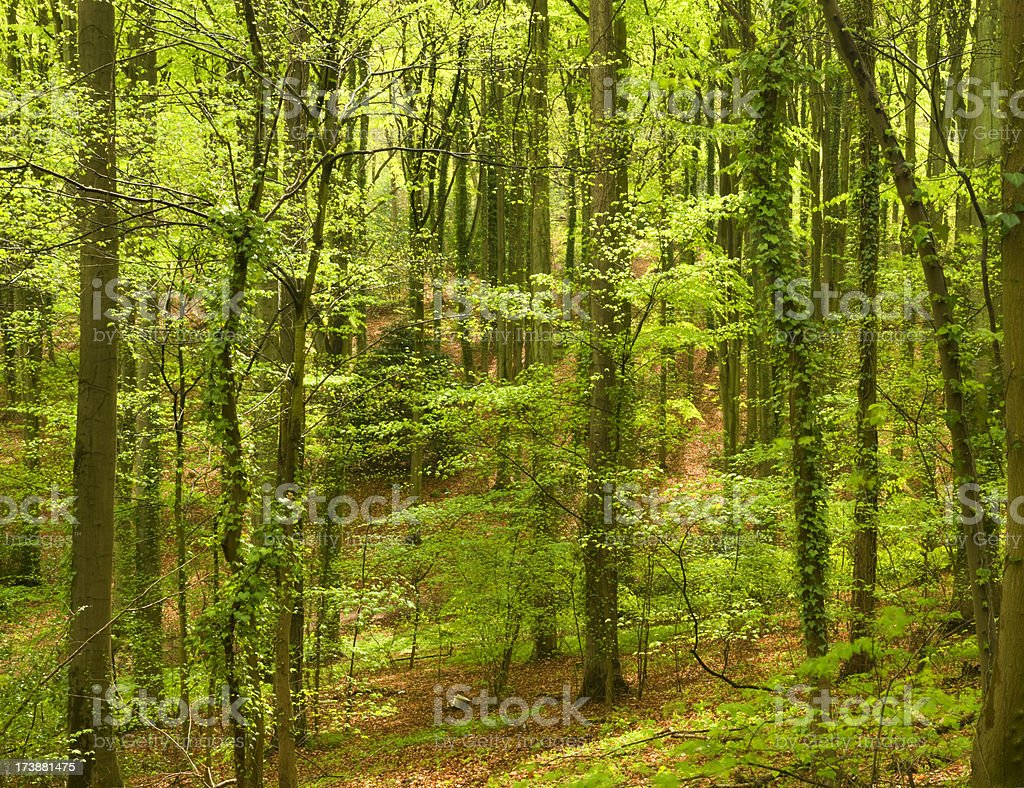 Spring Woods royalty-free stock photo
