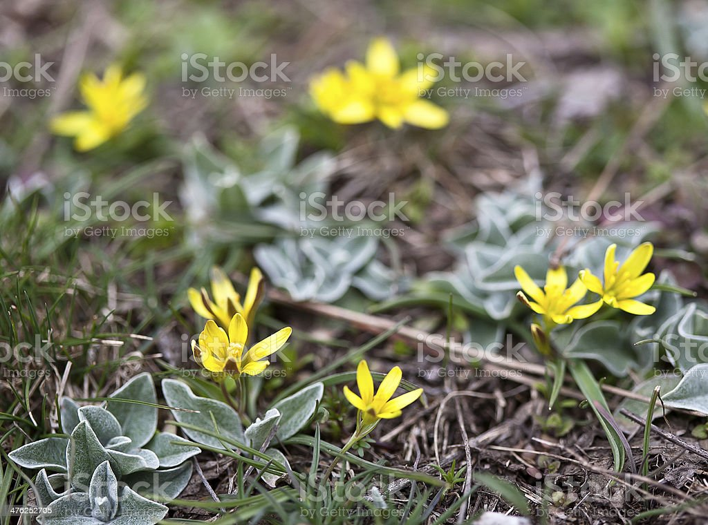 Spring yellow flower royalty-free stock photo