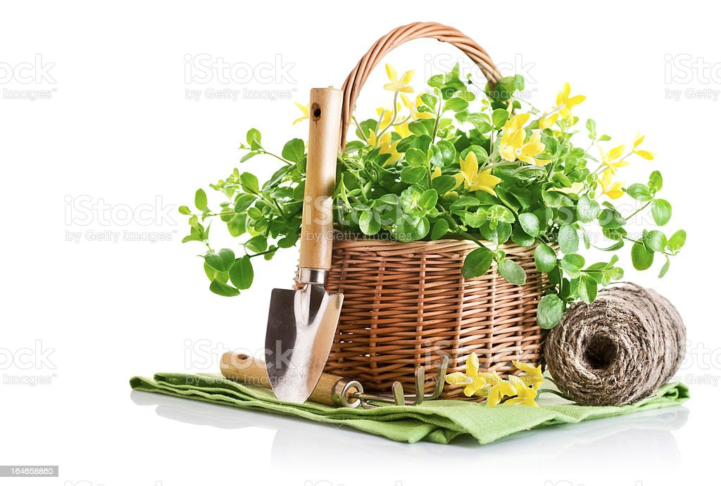 spring yellow flowers in basket with garden tools royalty-free stock photo