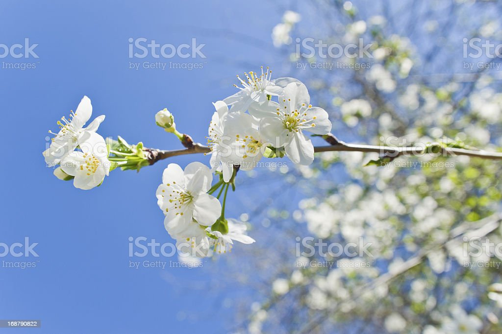 Spring-blooming royalty-free stock photo