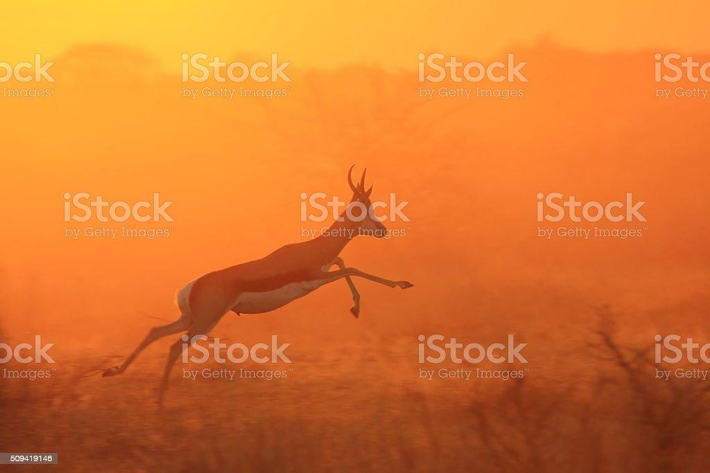 Springbok Antelope - African Wildlife Background - Freedom and Life stock photo