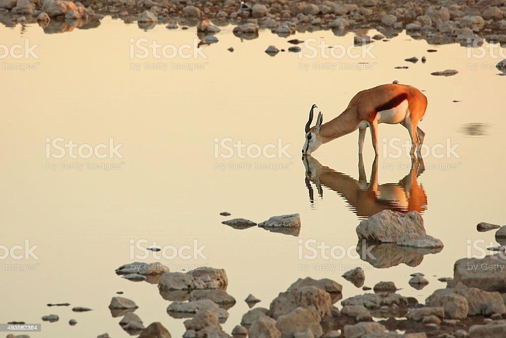 Springbok Antelope Drinking at Waterhole in Etosha stock photo