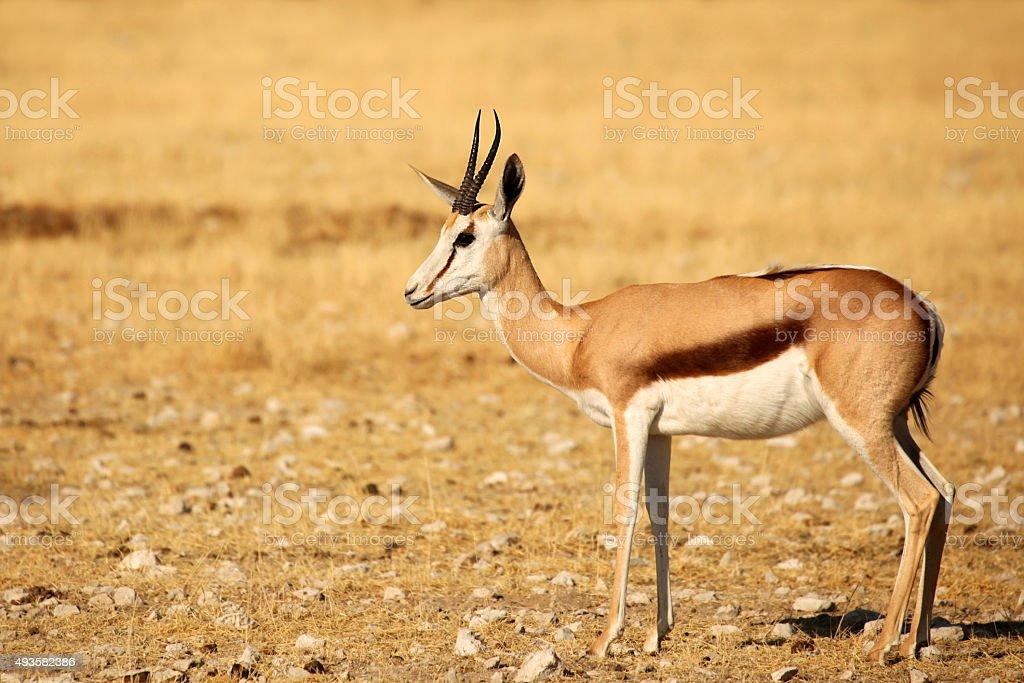 Springbok Antelope in Africa stock photo