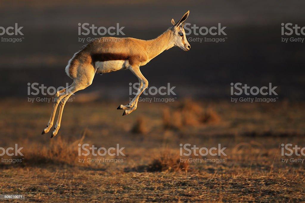 Springbok antelope jumping stock photo