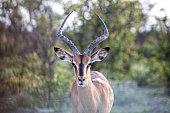 Springbok Antelope in wilderness