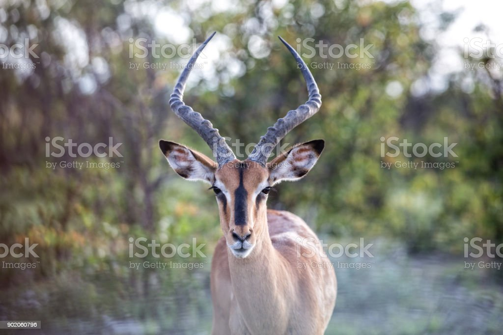 Springbok Antelope stock photo