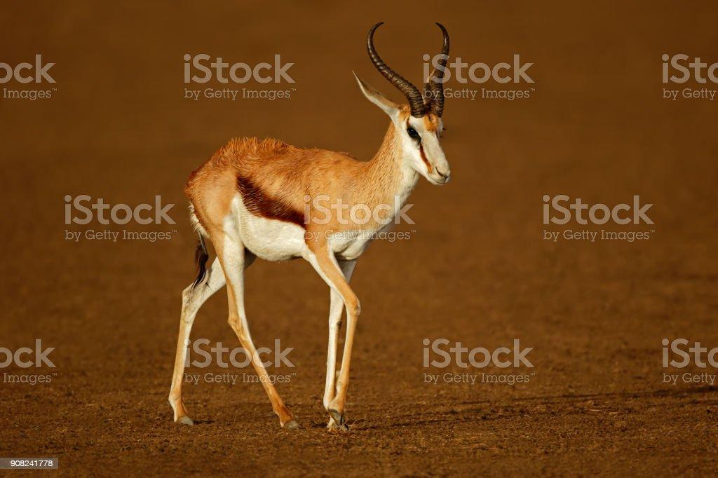 Springbok antelope wet after the rain stock photo