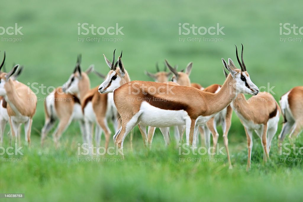 Springbok antelopes stock photo