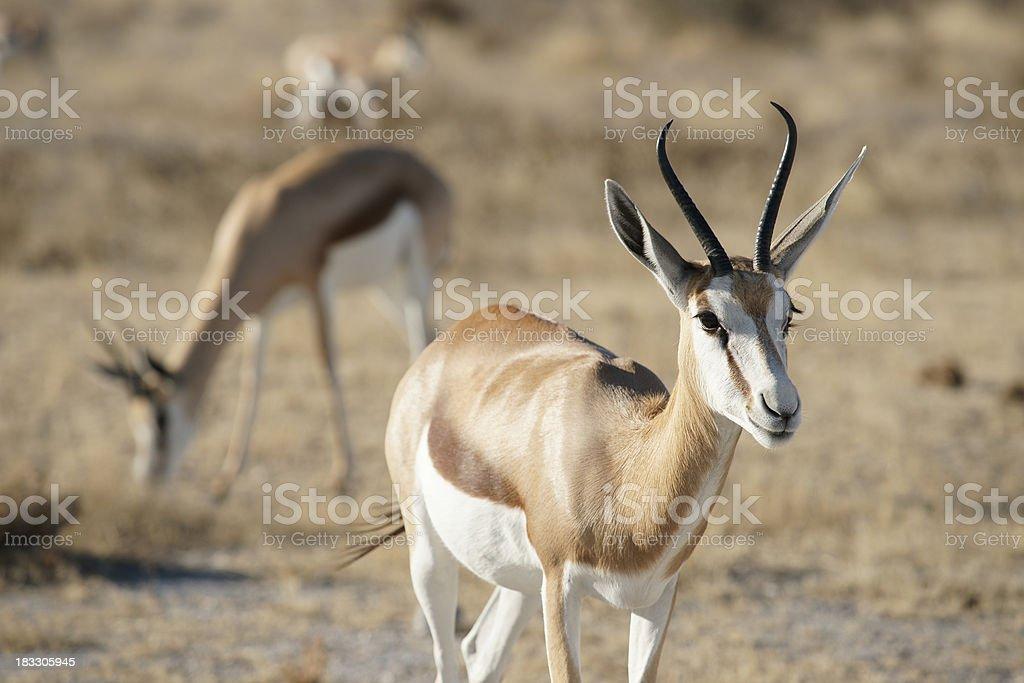 Springbok at Ethosa National Park stock photo