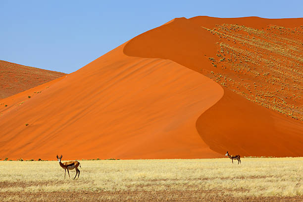 Springbok at large red sand dunes in Namib Naukluft NP Springbok at large red sand dunes in Namib Naukluft NP, Namibia namib desert stock pictures, royalty-free photos & images