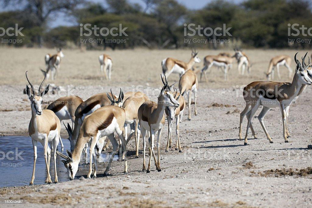 Springbok At The Waterhole stock photo